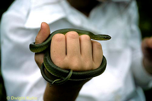1R04-066z  Smooth Green Snake - child holding snake  - Opheodrys vernalis
