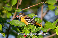 01611-075.03 Baltimore Oriole (Icterus galbula) female eating Shadblow Serviceberry (Amelanchier canadensis) Marion Co. IL