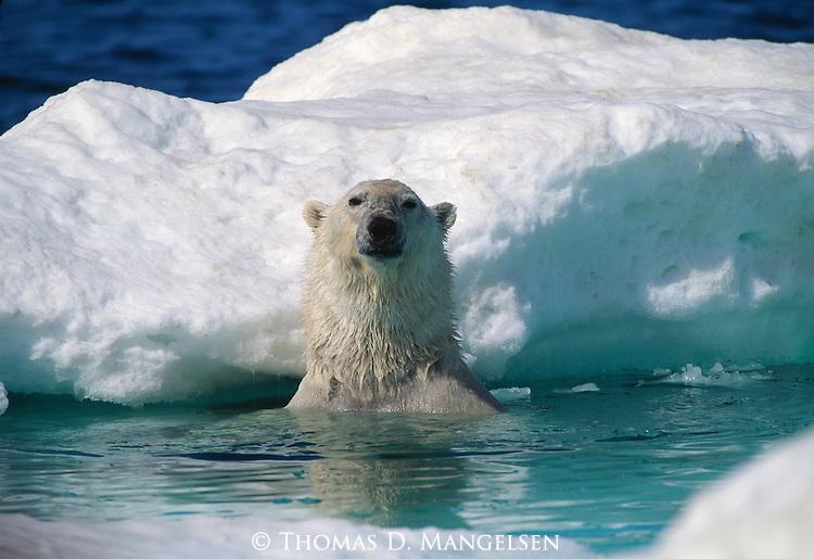 A polar bear emerges near an ice floe in Nunavut, Canada.