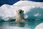 A polar bear emerges near an ice floe in Nunavut, Canada.