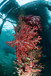 Soft corals (Dendronephthya sp.) adorn the legs of Arborek Jetty, Dmpier Strait, Raja Ampat, Indonesia