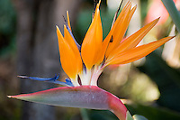 Spain, Canary Islands, La Palma, bird of paradise flower (Strelitzia reginae)