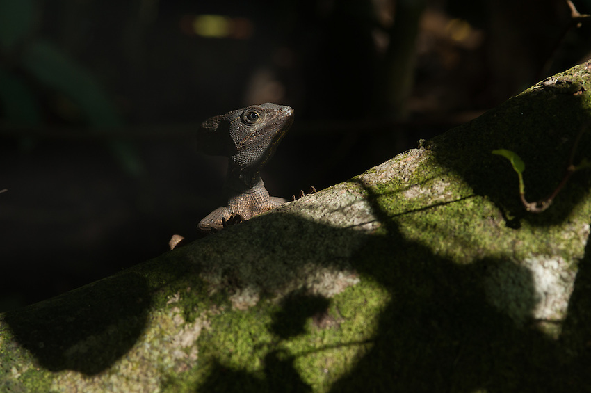 Brown Basilisk (Basiliscus vittatus) - The Jesus lizard that walks on water.