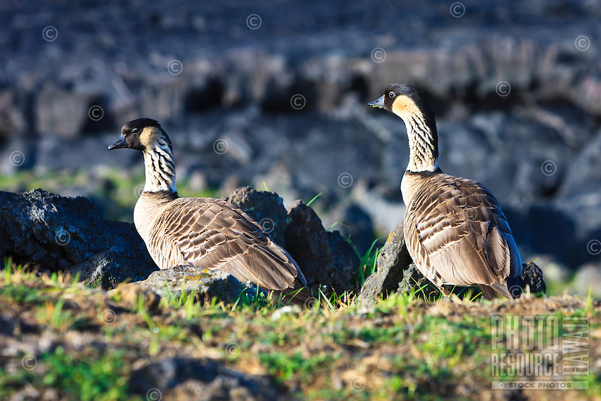 The nene goose, Hawai'i's state bird and endemic to the Hawaiian Islands, with a companion at Hawai'i Volcanoes National Park, Big Island.