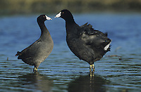 American Coot (Fulica americana),pair interacting, Sinton, Coastel Bend, Texas, USA