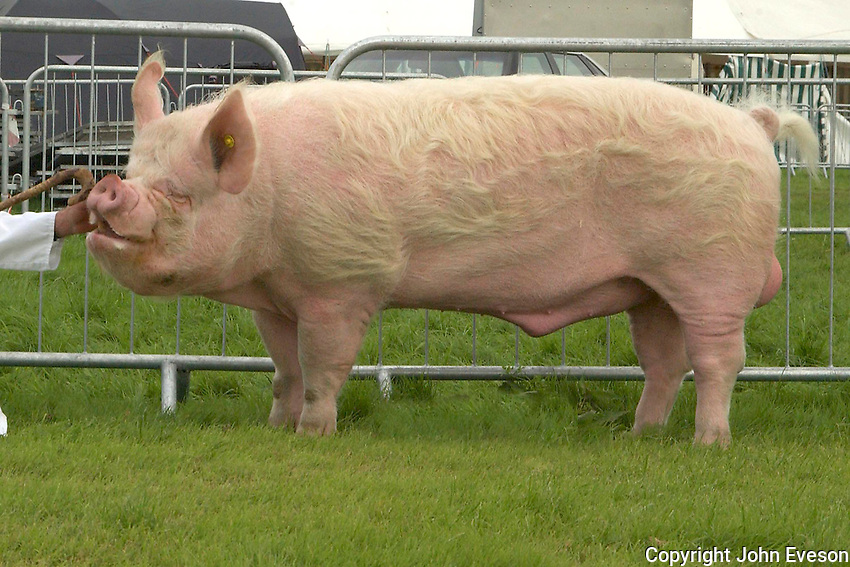 The interbreed pig champion, an 18 months old  Middle White boar from J. and A. Herbert of The Blythe, Stafford.