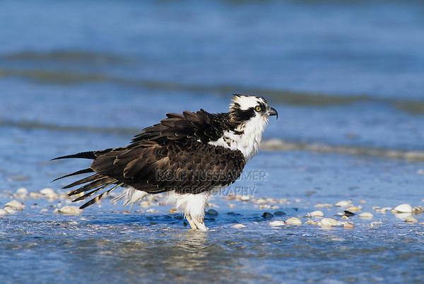 Osprey, Pandion haliaetus,adultat beach, Sanibel Island, Florida, USA