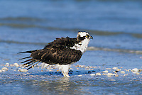 Osprey, Pandion haliaetus,adultat beach, Sanibel Island, Florida, USA