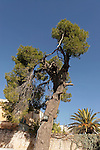 Israel, Aleppo Pine Tree in Jerusalem Old City