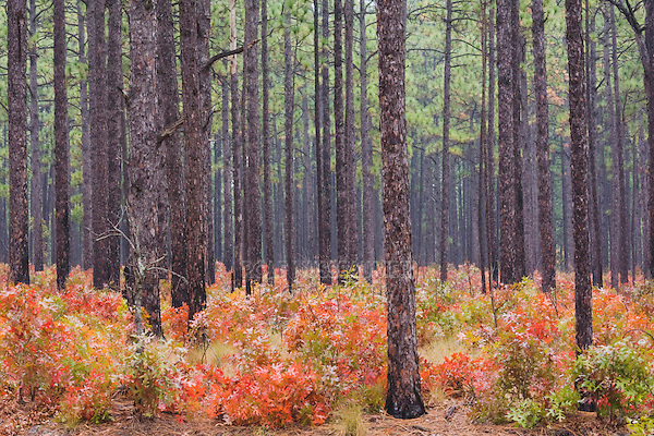 Scarlet Oak (Quercus coccinea) and Longleaf Pine (Pinus palustris), fall colors, Weymouth Woods Sandhills Nature Preserve, Southern Pines, North Carolina, USA