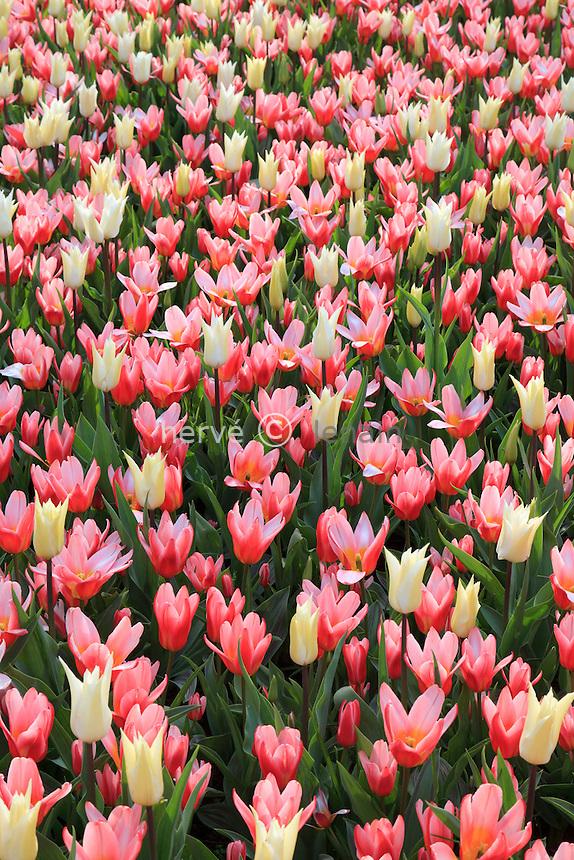 Hollande, région des champs de fleurs, Lisse, Keukenhof,.tapis de tulipes avec les tulipes 'Très Chic' et tulipes kaufmanniana 'Heart's Delight' // Mix of tulips 'Très Chic' et tulips kaufmanniana 'Heart's Delight'.