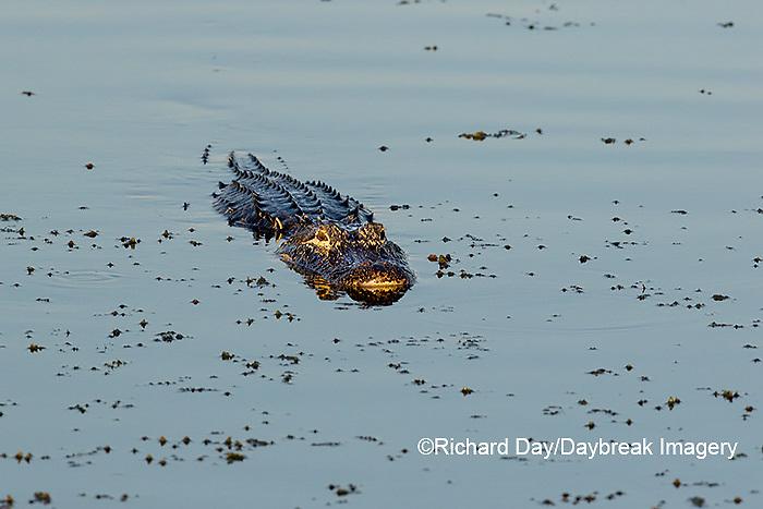 02929-00906 American Alligator (Alligator mississippiensis) Viera Wetlands Brevard County, FL