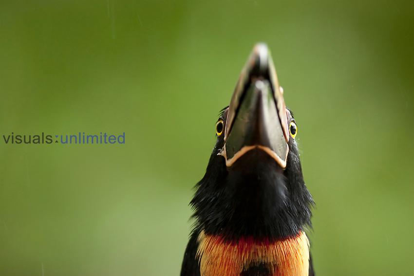 Collared Aracari head (Pteroglossus torquatus), Costa Rica