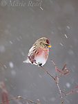 Common Redpoll (Carduelis flammea), perched in alder during snowstorm, New York, USA