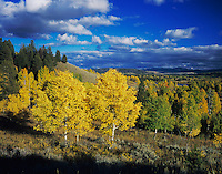 Aspen trees with fallcolors, Grand Teton NP,Wyoming, September 2005