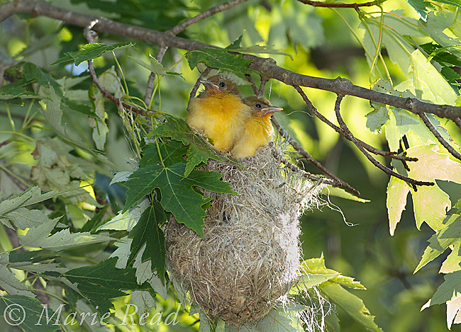Baltimore Oriole (Icterus galbula), two soon-to-fledge nestlings looking out of nest, New York, USA