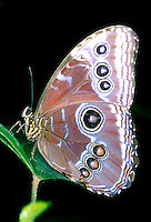 MOTHS AND BUTTERFLIES<br /> Morpho Butterfly<br /> Some butterflies flash eyespots on their wings to startle predators suggesting a larger animal. A form of mimicry.