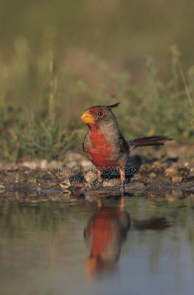 Pyrrhuloxia, Cardinalis sinuatus, male bathing, Lake Corpus Christi, Texas, USA