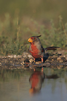 Pyrrhuloxia, Cardinalis sinuatus, male bathing, Lake Corpus Christi, Texas, USA