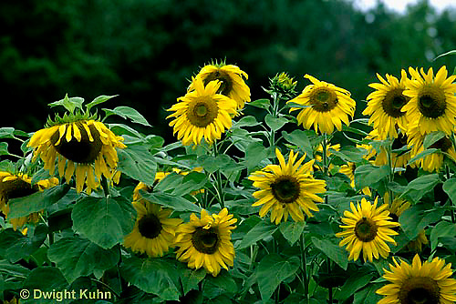 HS13-066z  Sunflower -  Helianthus spp.