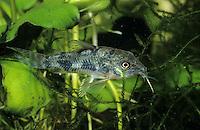 Marmorierter Panzerwels, Corydoras paleatus, blue leopard corydoras, mottled corydoras, peppered catfish, Corydoras poivré, Corydoras marbré, Panzerwelse, Callichthyidae