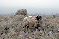 Swaledale ewes in the frost, Hope Moor, Co Durham....Copyright John Eveson 01995 61280.j.r.eveson@btinternet.com