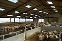 15/03/05 - FONTAINE EN BUESMOIS - COTE D OR - FRANCE - Elevage mixte. Charolaises et lot de beliers Ile de France - Photo Jerome CHABANNE