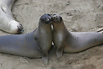 elephant seals play fight