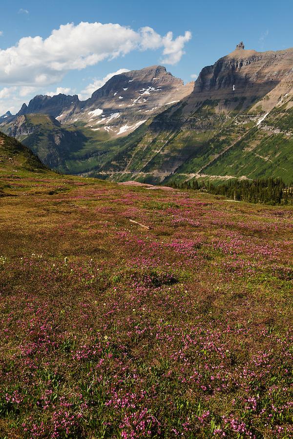 Magenta flowers carpet the ground along Logan Pass in Glacier National Park, Montana.