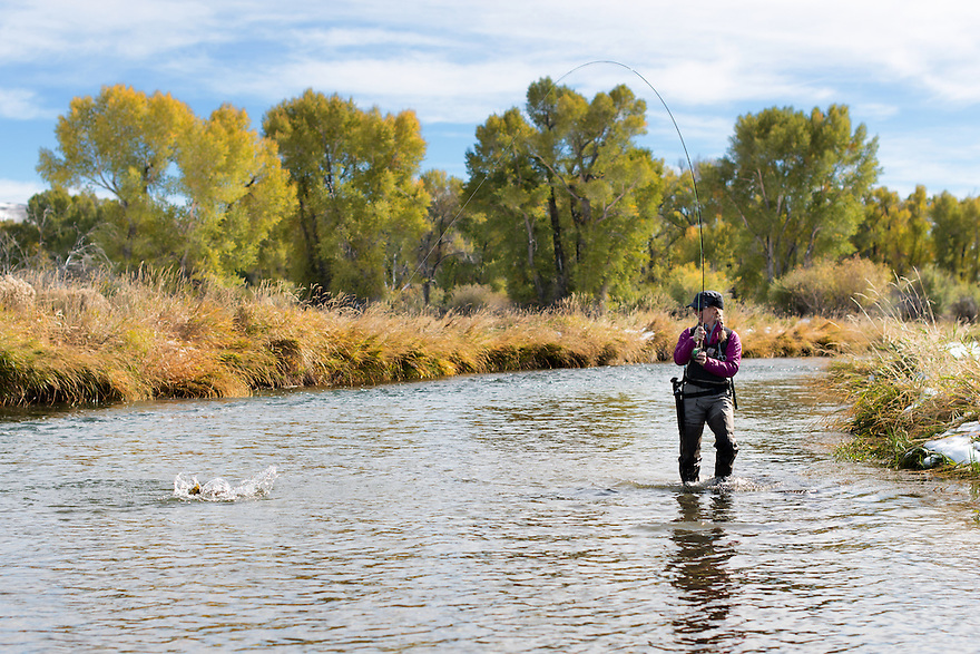 An angler fights a brown trout beneath cottonwood trees on a stream near Dillon, Montana.