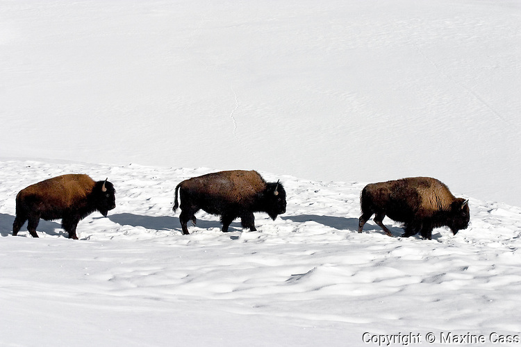 Three bison (Bison bison) [WILD] walk in winter snow, Yellowstone National Park, Wyoming, United States of America