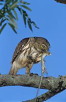 Ferruginous Pygmy-Owl, Glaucidium brasilianum, adult eating on lizard, Willacy County, Rio Grande Valley, Texas, USA