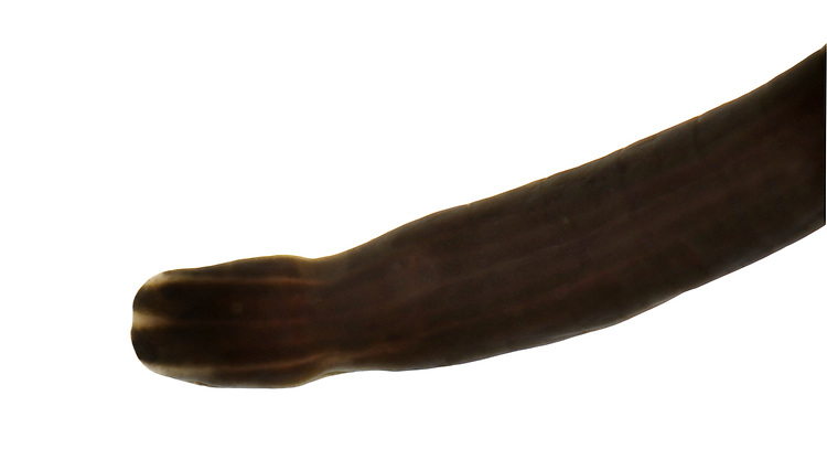 Bootlace Worm - Lineus longissimus
