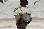 In Puerto Lopez Ecuador men carry the fish from a little fishing boat to a truck for further transport. The frigate birds try to get their share and this frigate bird succeeded