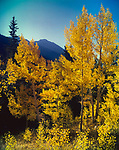 Autumn Aspen Trees,San Francisco Peaks,Arizona