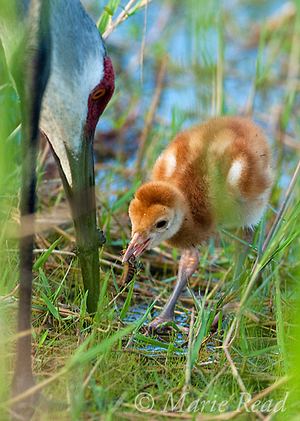 Sandhill Crane (Grus canadensis), Florida race, chick with food given by adult, Orlando, Florida, USA