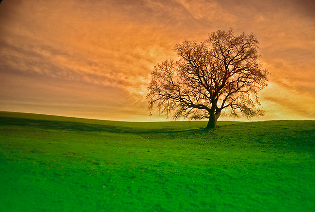 Tree and Napa sunset
