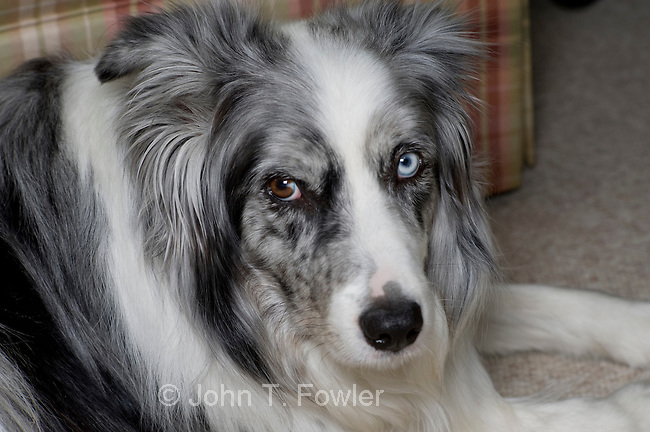 Blue merle, Border Collie with different colored eyes