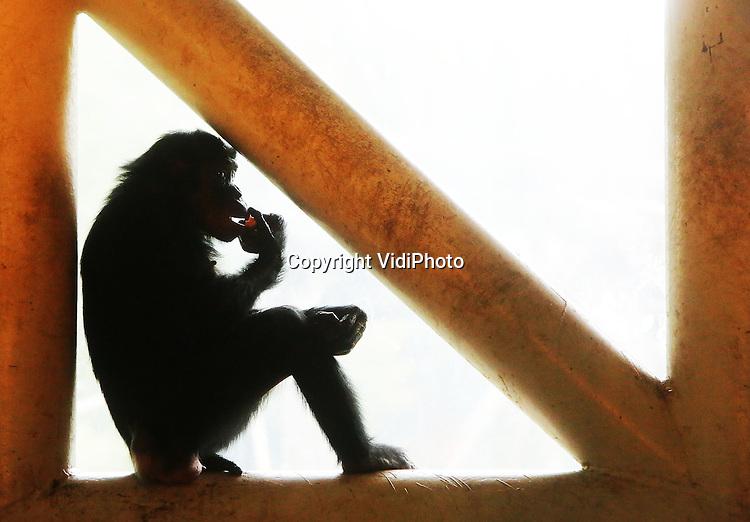 Foto: VidiPhoto<br /> <br /> APELDOORN - Een welkomsfeestje voor de nieuwe bonobo Besede van Apenheul in Apeldoorn donderdag. Leerlingen van de Martin Luther Kingschool in Apeldoorn maakten donderdag samen met verzorgers een gezonde groente- en fruittaart voor het zevenjarige vrouwtje. Besede is naar Apenheul gekomen in het kader van het Europese fokprogramma. Het dierenpark heeft &eacute;&eacute;n van de grootste bonobogroepen van Europa en is de enige dierentuin in Nederland met deze zeldzame dieren. Foto: Besede laat zich de lekkernij goed smaken.