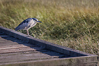 An adult Black-crowned Night-heron surveys the wetland at MLK Regional Shoreline from the observation platform at Arrowhead Marsh.