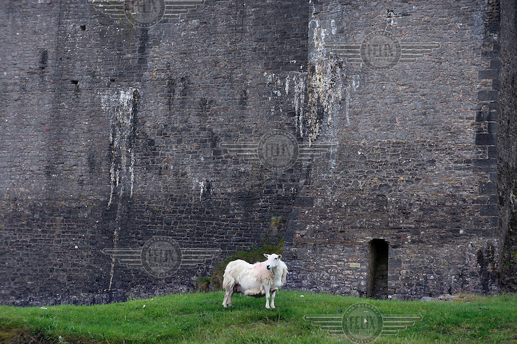 A sheep stands outside the walls of Carreg Cennen Castle in Carmarthenshire.