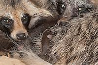 Marderhund, frisch geborene Jungtiere, Junge, Welpen gemeinsam mit Elterntier, kuscheln, schmusen, Tierbabies, Tierbabys, Tierbaby, Marder-Hund, Enok, Seefuchs, Nyctereutes procyonoides, raccoon dog, Chien viverrin