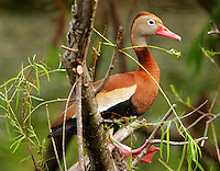 Adult black-bellied whistling-duck sits in a willow tree at Paradise Pond, Port Aransas, TX. One can see why they were formerly called tree ducks. These tropical ducks are expanding their range northward.