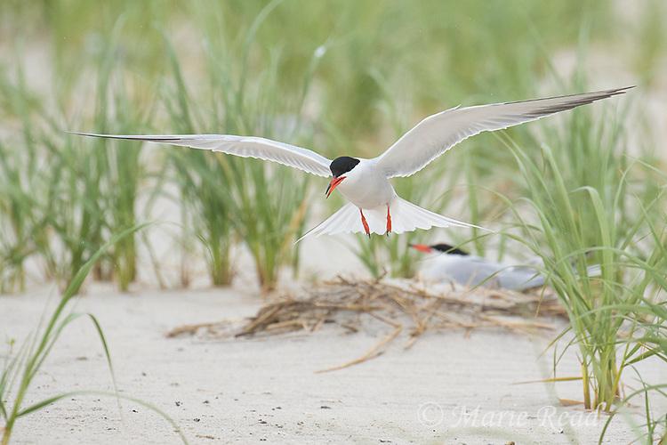 Common Tern (Sterna hirundo), adult in breeding plumage, coming in to land in breeding colony, Nickerson Beach, Long Island, New York, USA