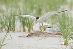 Common Tern (Sterna hirundo), adult in breeding plumage, coming in to land in breeding colony, Nickerson Beach, Long Island, New York, USA