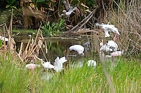 Early morning finds a multitude of Roseate Spoonbills, Egrets, Herons, Ibises, and Wood Storks seeking food. Photographed at Green Cay Wetlands, Boynton Beach, Florida.