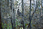 A ruffed grouse perches in a tree in Grand Teton National Park, Wyoming.