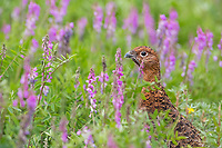 Willow ptarmigan in summer plumage in wild pea plant in Denali National Park, Alaska.