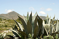 Agave cacti and arid landscape outside the 19th century mining town of Mineral de Pozos, Guanajuato, Mexico.