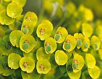 Spurge (Euphorbiaceae characias) Bellevue Botanical Garden, Bellevue, Washington